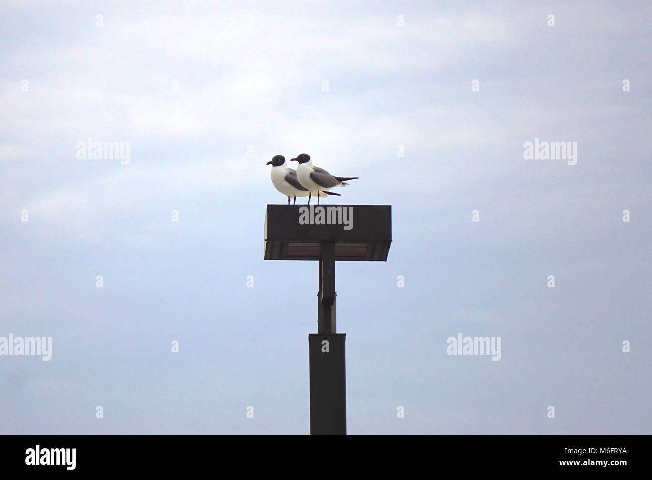 A pair of laughing gulls (Leucophaeus atricilla) on an outdoor light fixture. - Stock Image