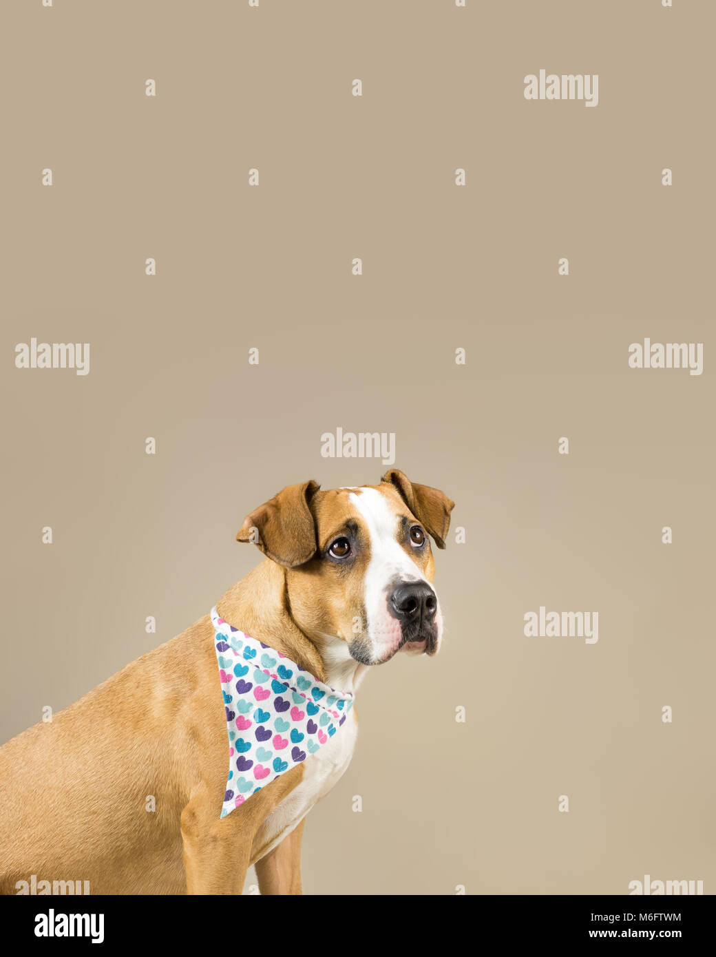 Young pitbull terrier dog poses in neutral background for valentine's day greeting card. Adorable staffordshire - Stock Image