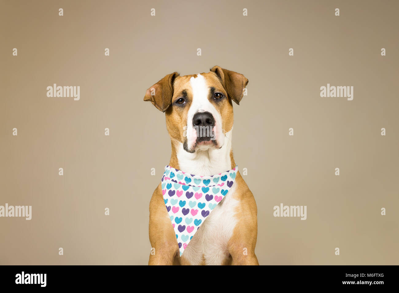 Cute staffordshire terrier dog in bandana with hearts. Young pitbull puppy sits in neutral backgraund posing for - Stock Image