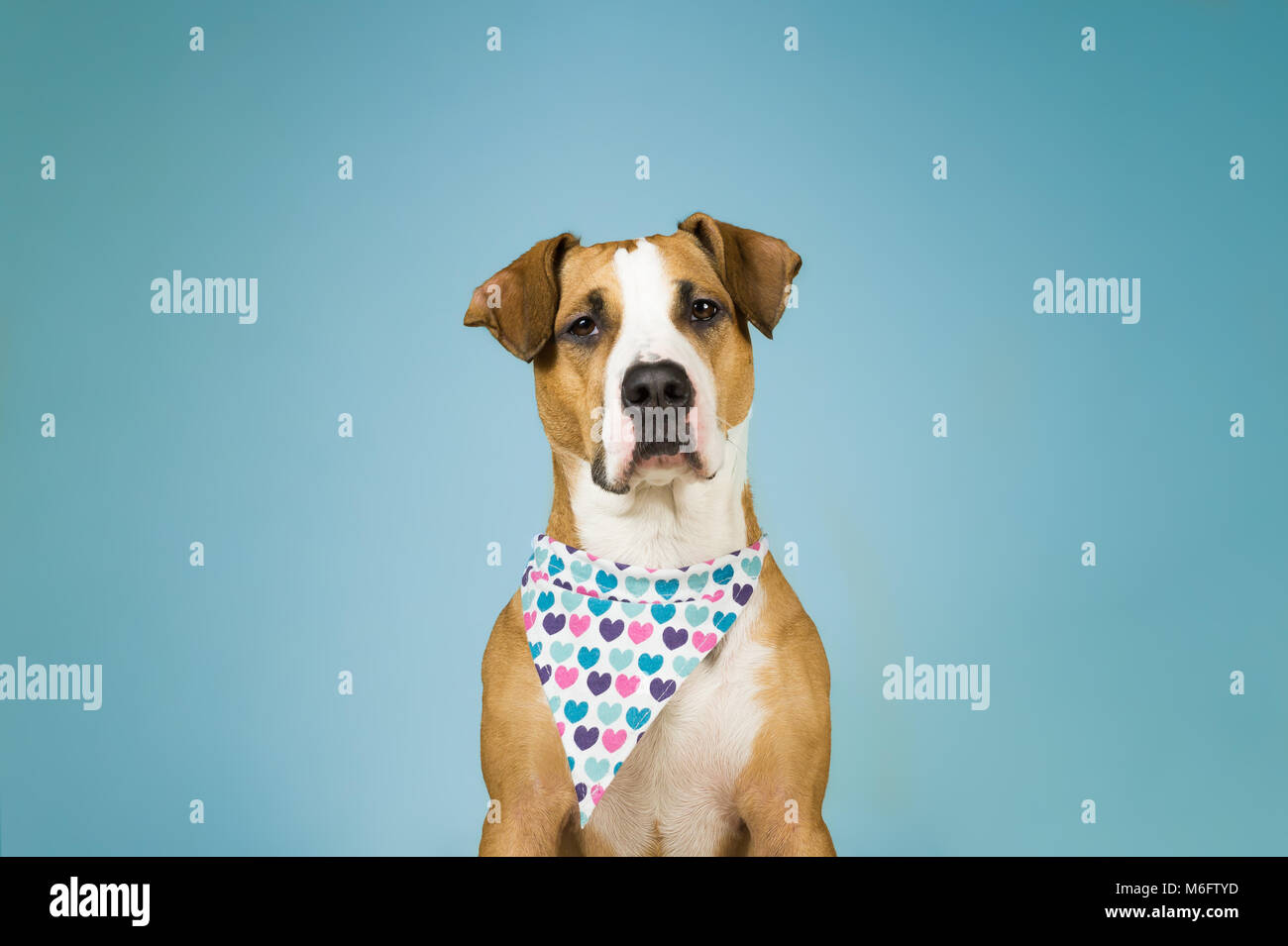 Cute staffordshire terrier dog in bandana with hearts. Young pitbull puppy sits in light blue colorful  backgraund - Stock Image