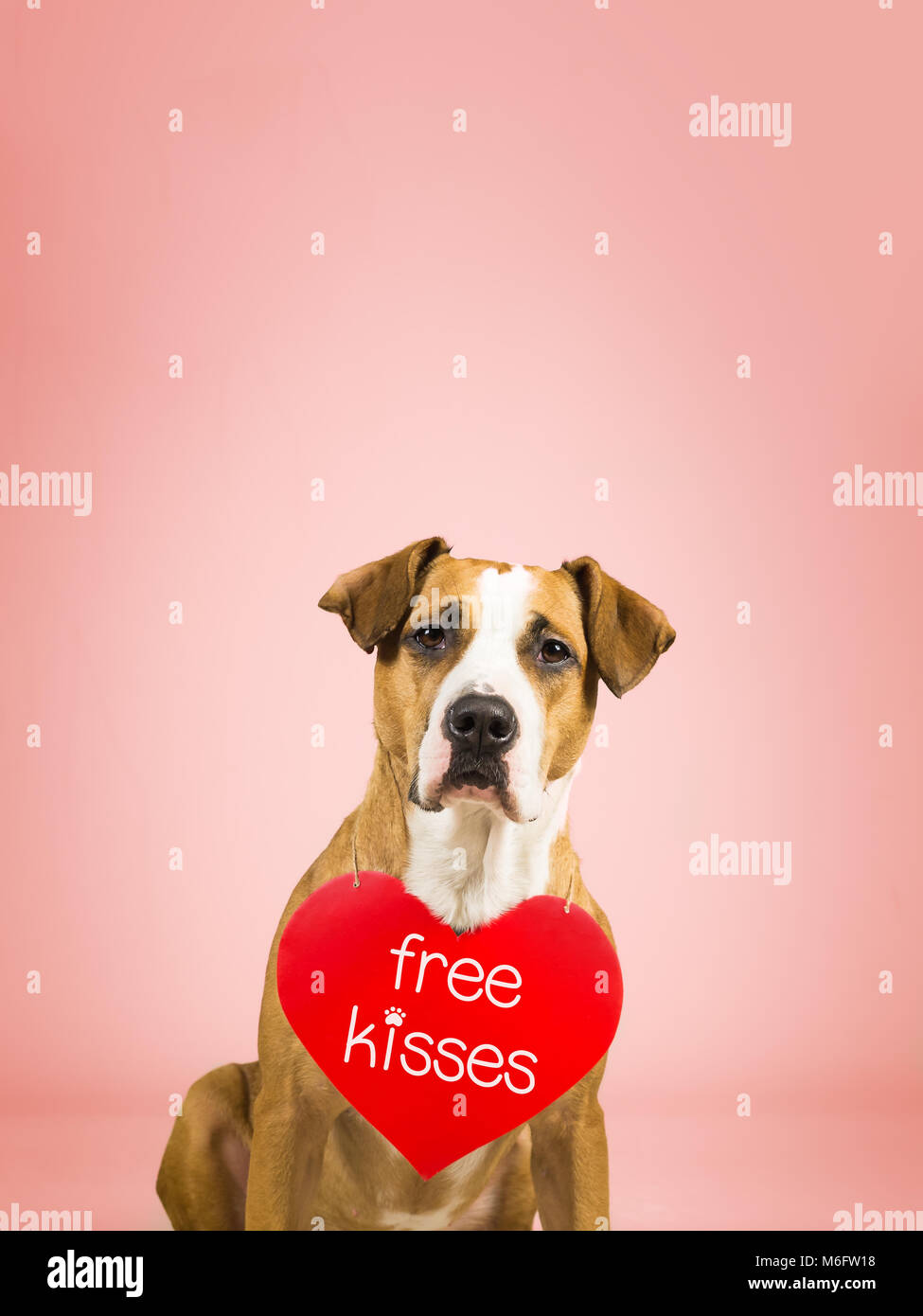 Lovely young pitbull terrier dog with 'free kisses' paper heart. - Stock Image