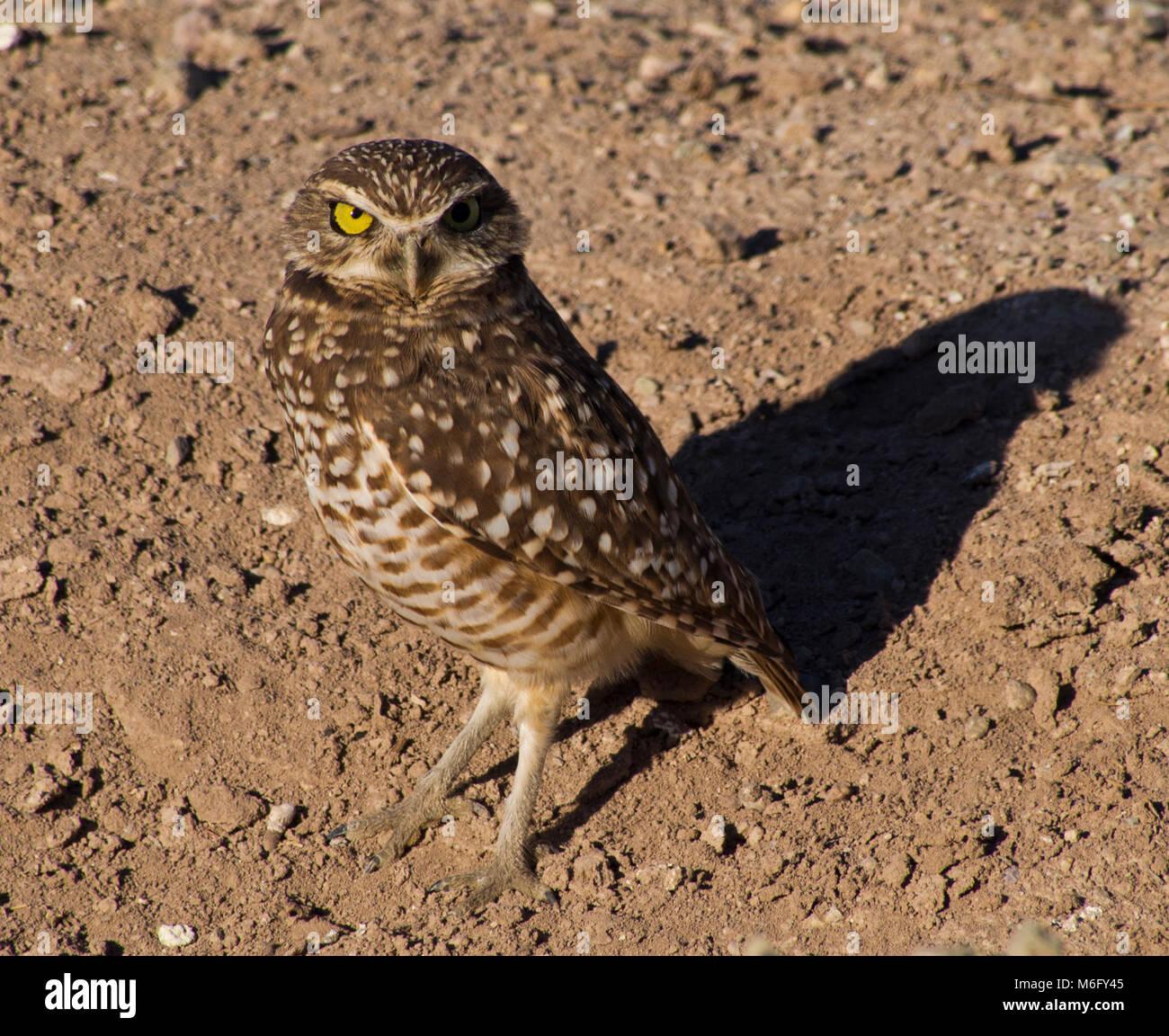 Burrowing Owl. Stock Photo