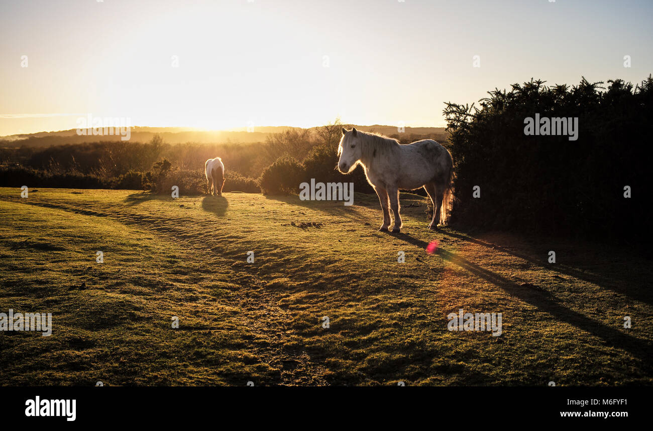 A beautiful misty sunrise landscape across the New Forest Hampshire England with two new forest ponies in the foreground. - Stock Image