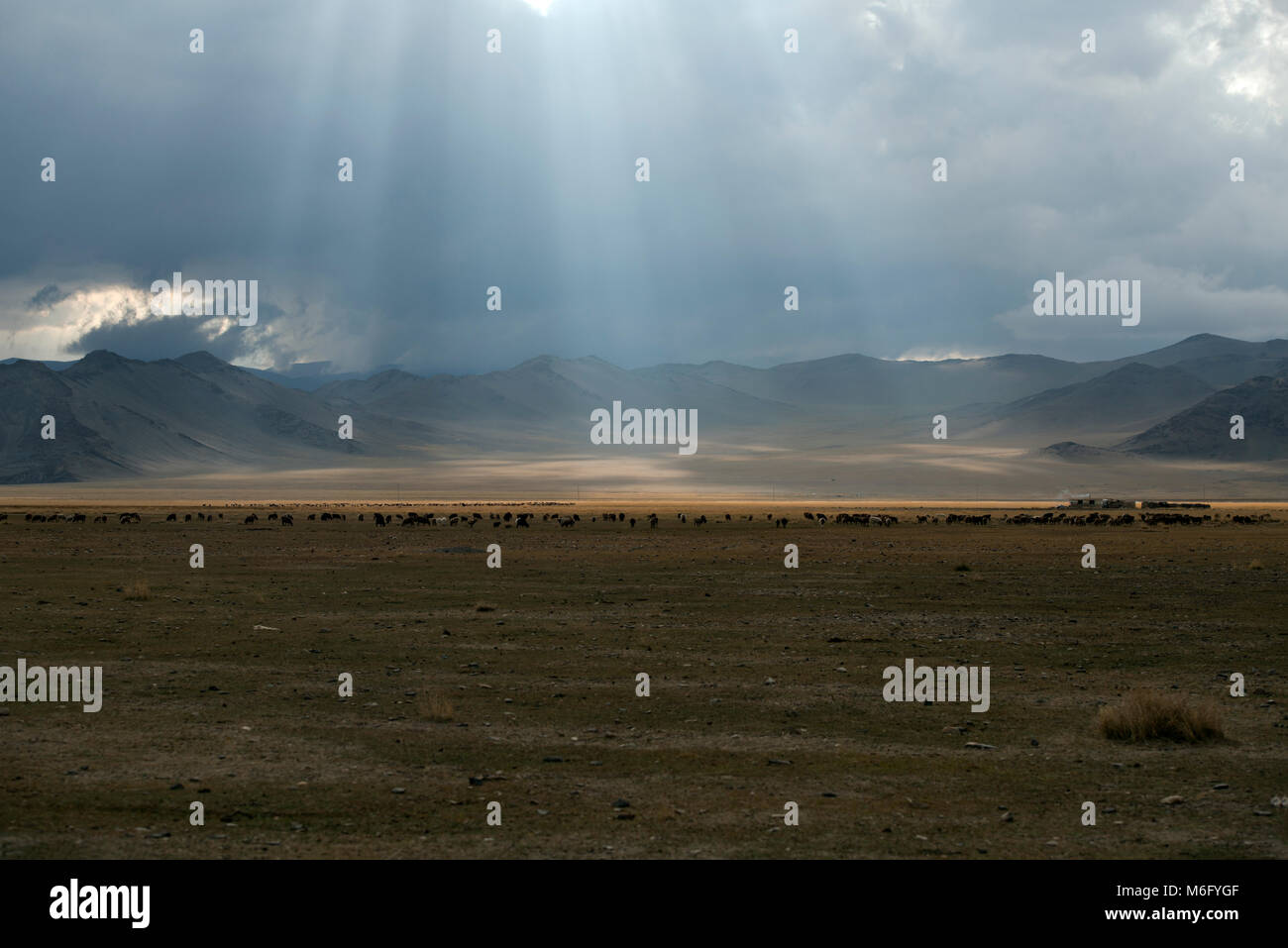 Cattle grazing in the Altai Mountains, Mongolia as rays of sunlight break through the clouds. It is the most sparsely - Stock Image