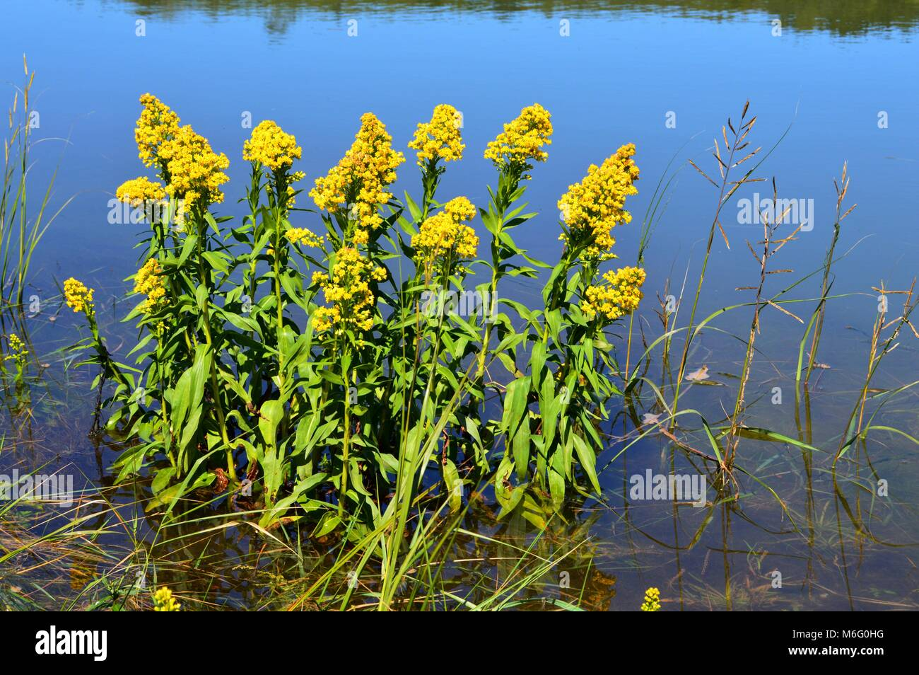 Seaside Goldenrod Stock Photo Alamy