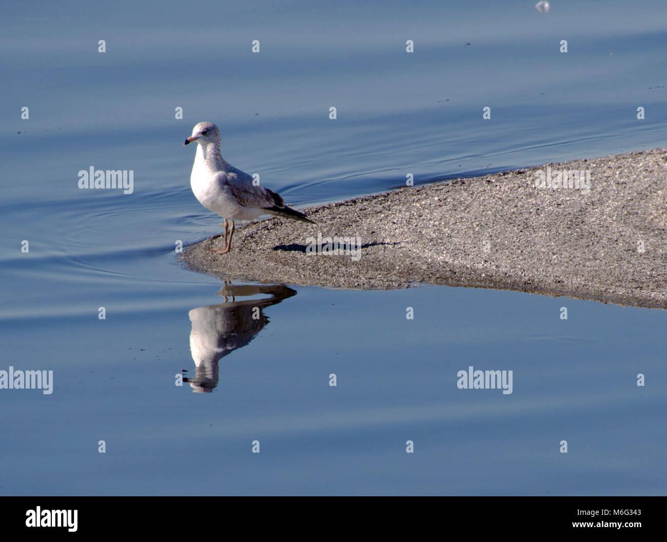 Gull at Barker Dam. Stock Photo