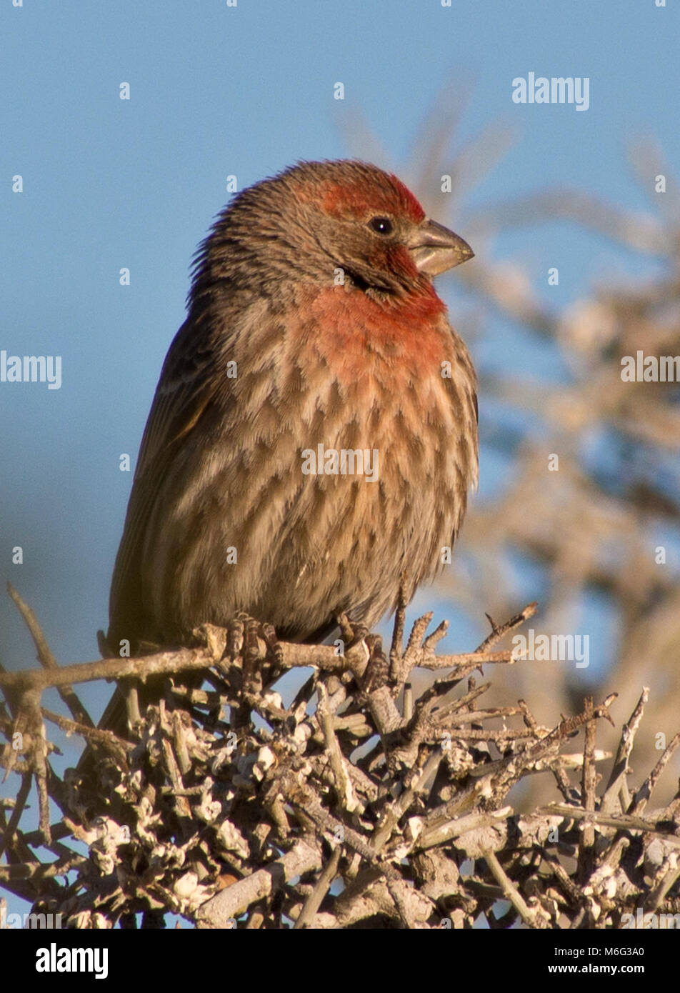 House  Finch. Stock Photo