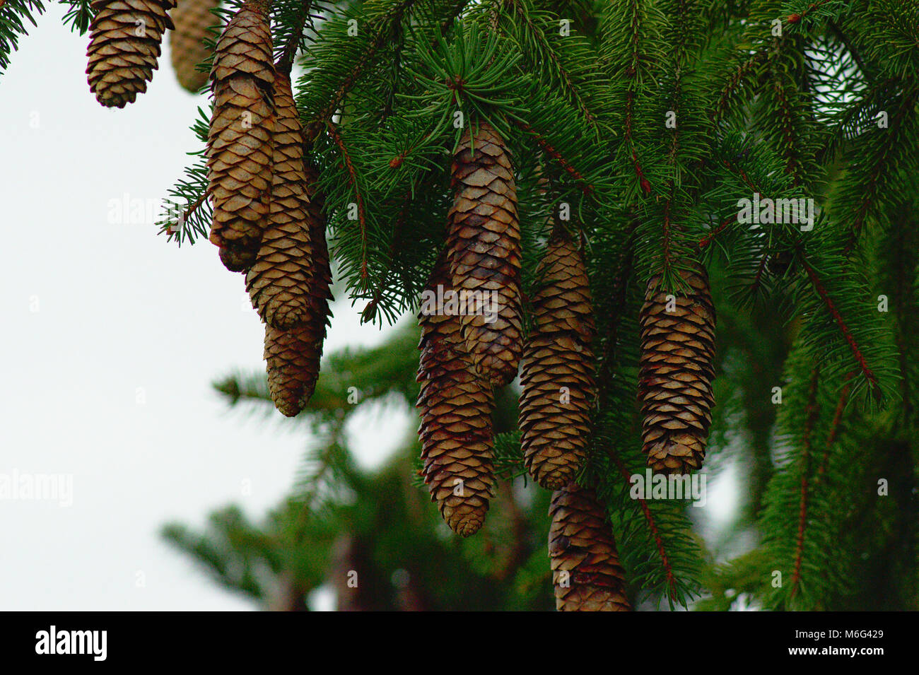 Norway Spruce cone - Stock Image