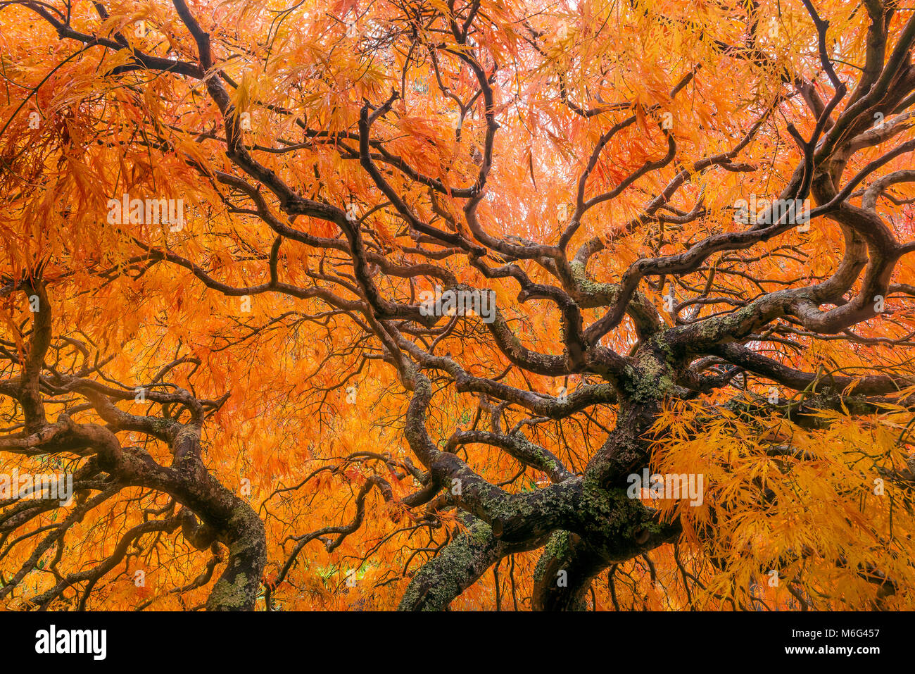 Japanese Maple, Laceleaf, Acer Palmatum, Fern Canyon Garden, Mill Valley, California - Stock Image