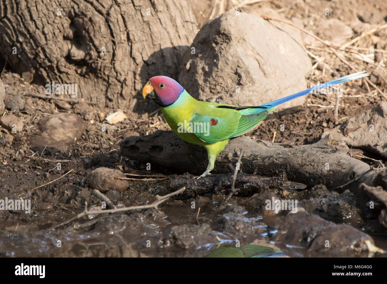 male plum-headed parakeet who flew on a small water body on a winter's day - Stock Image