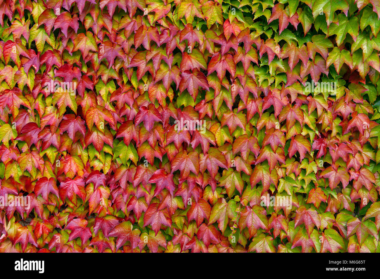 boston ivy parthenocissus tricuspidata veitchii mill valley stock photo 176147716 alamy. Black Bedroom Furniture Sets. Home Design Ideas