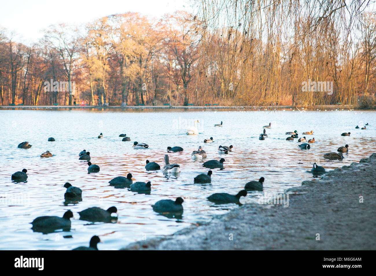 Lake view with ducks and swan in Englischer Garten or English Garden in Munich, Germany. - Stock Image