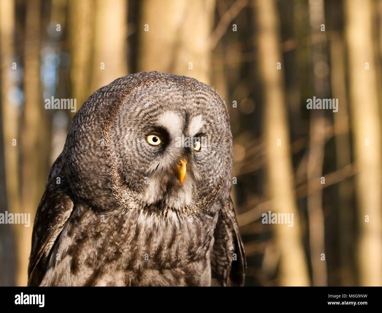Portrait of one of largest owl - Great grey owl - Strix nebulosa - Stock Image