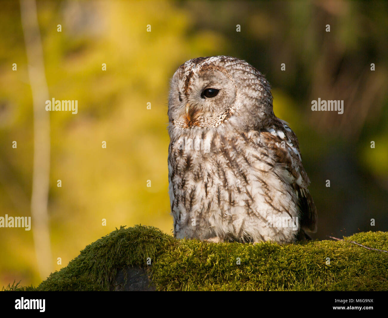 Portrait of Strix aluco - Ttawny owl sitting on moss in forest - Stock Image