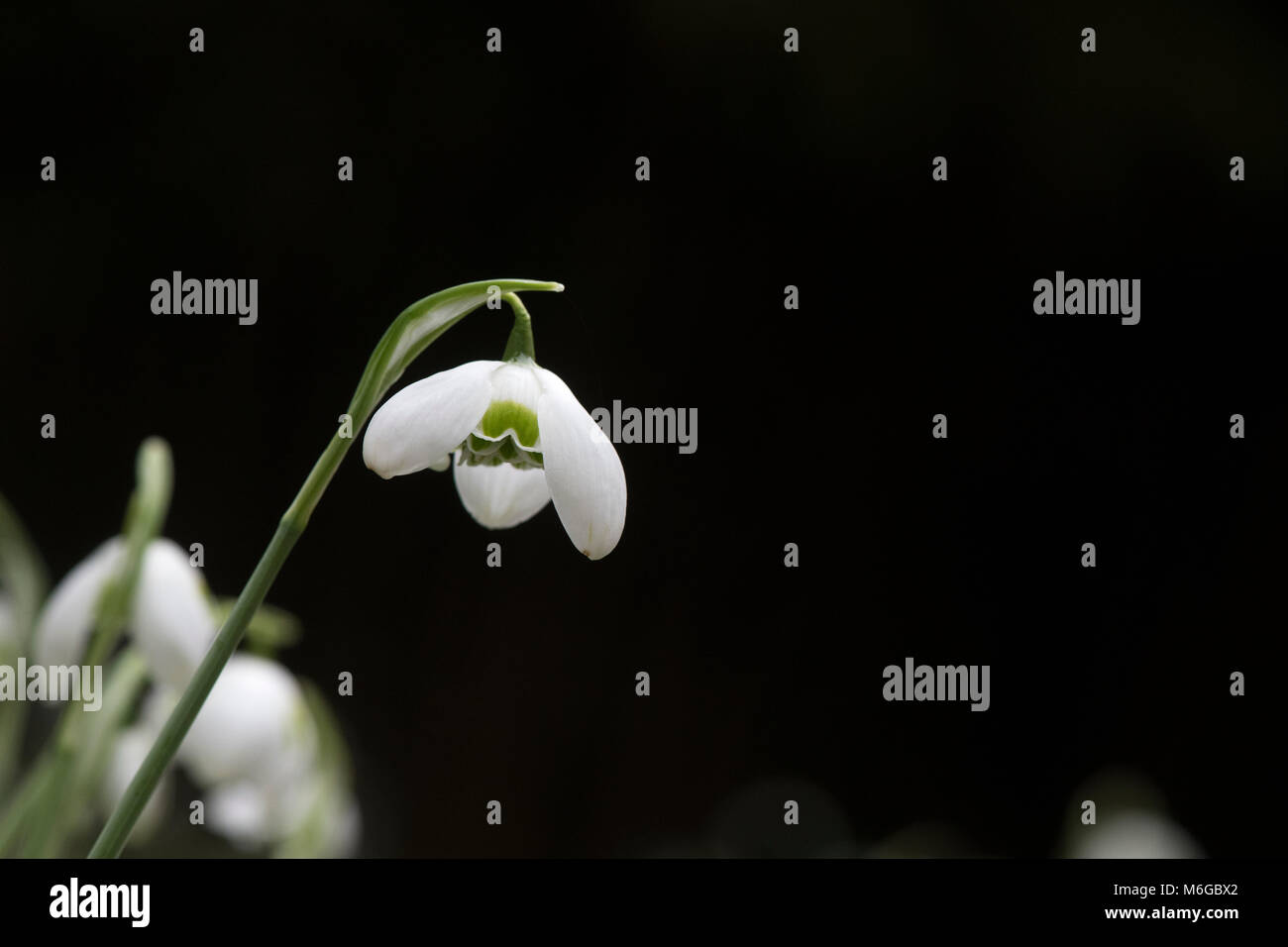 Galanthus 'Hippolyta'. Snowdrop 'Hippolyta' flower in February. UK - Stock Image
