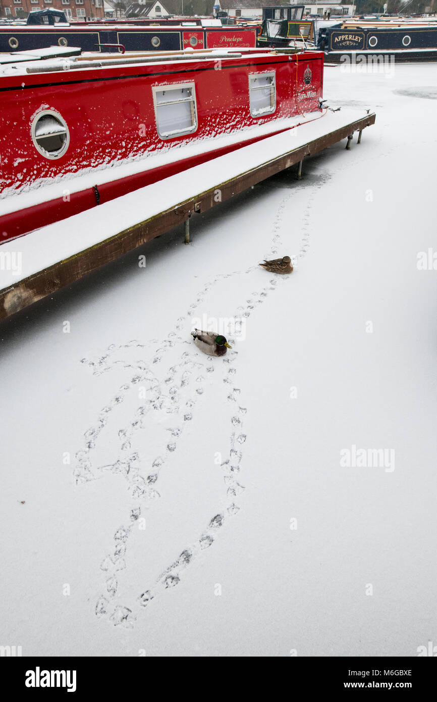 Mallard ducks and Canal boats in the snow on a frozen canal at braunston marina in the winter. The Wharf, Braunston, - Stock Image
