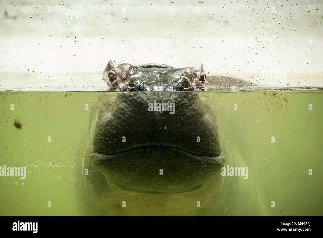 Share on below Hippopotamus completely bathed in the river on a hot sunny summer day. Nose and eyes popped out of - Stock Image