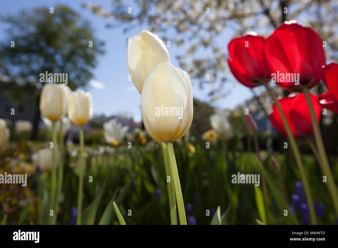 'Purissima, White Emperor' Fosteriana Tulip, Kejsartulpan (Tulipa fosteriana-hybrid ) - Stock Image