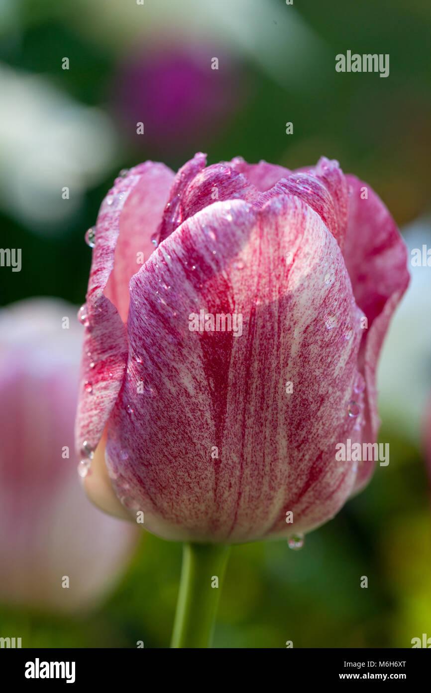 'Hemisphere' Triumph Tulip, Triumftulpan (Tulipa gesneriana) - Stock Image