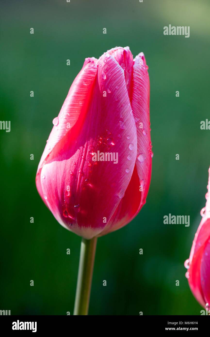 'Princess Victoria' Triumph Tulip, Triumftulpan (Tulipa gesneriana) Stock Photo