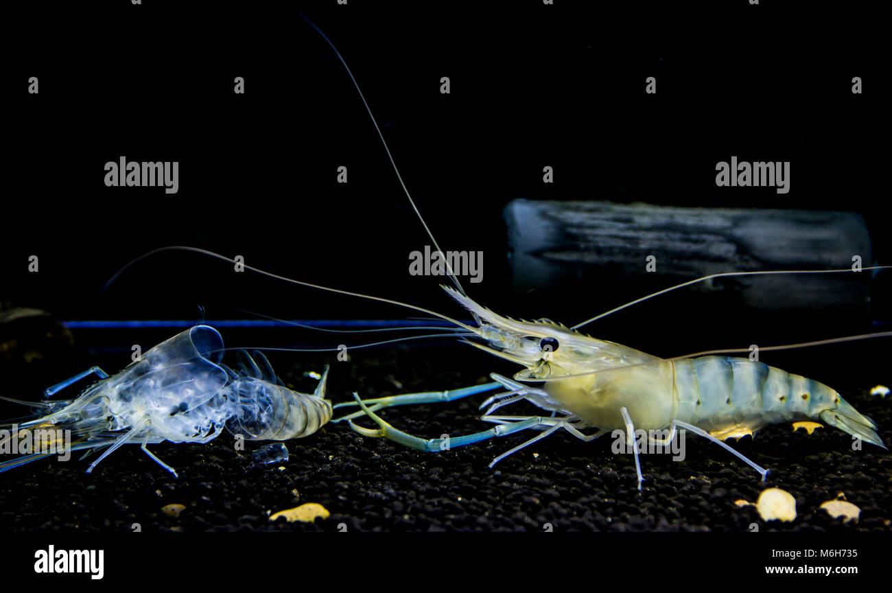 Giant freshwater prawn ( Macrobrachium rosenbergii ) Young shrimp molt. Animalia Kingdom , Arthropoda Phylum , Malacostraca - Stock Image