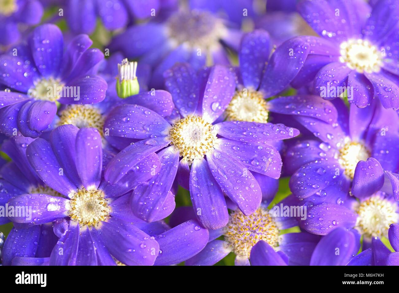 Blue Aster Flower Macro Stock Photos Blue Aster Flower Macro Stock