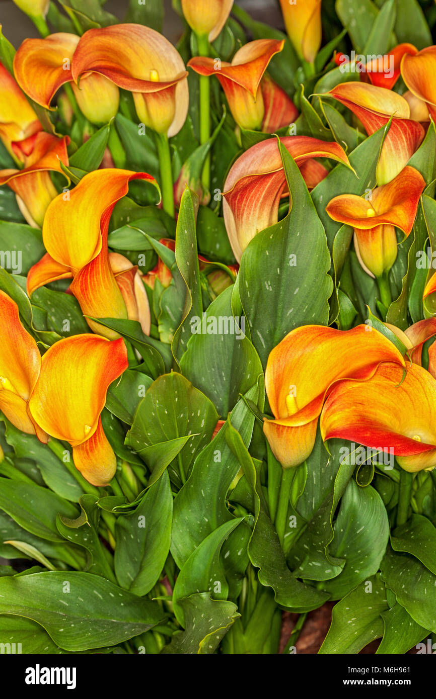 Red and yellow calla lilies stock photos red and yellow calla zantedeschia qatar bright yellow and orange calla lilies stock image izmirmasajfo