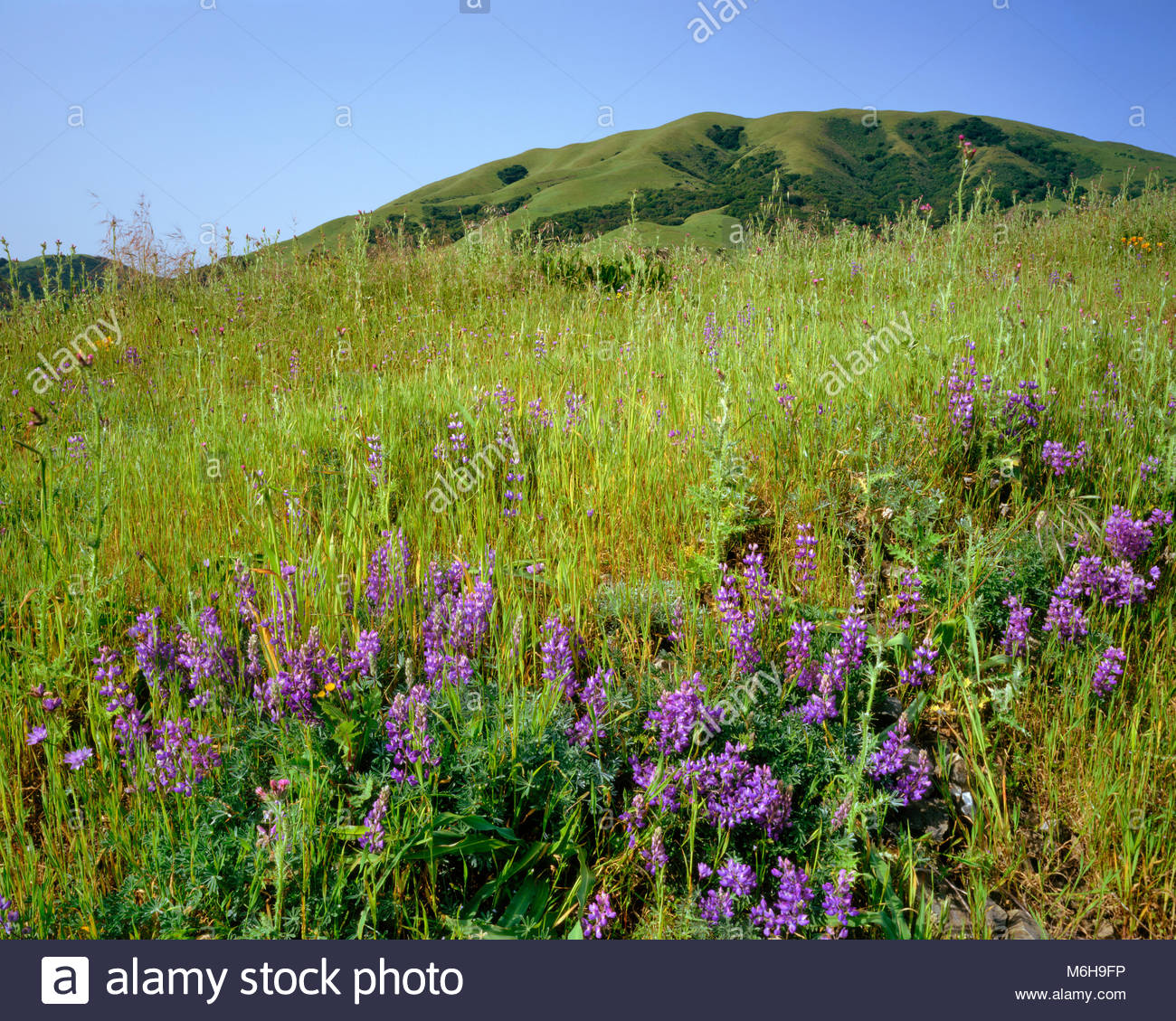 Lupine and Black Mountain, Nicacio, Marin County, California - Stock Image