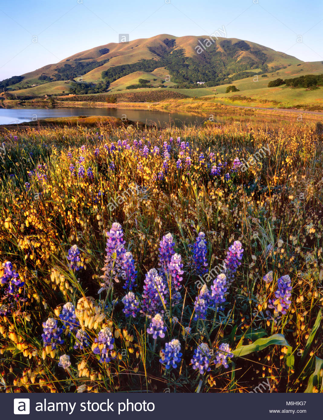 Wildflowers on Knoll and Black Mountain, Nicasio, Marin County, California - Stock Image