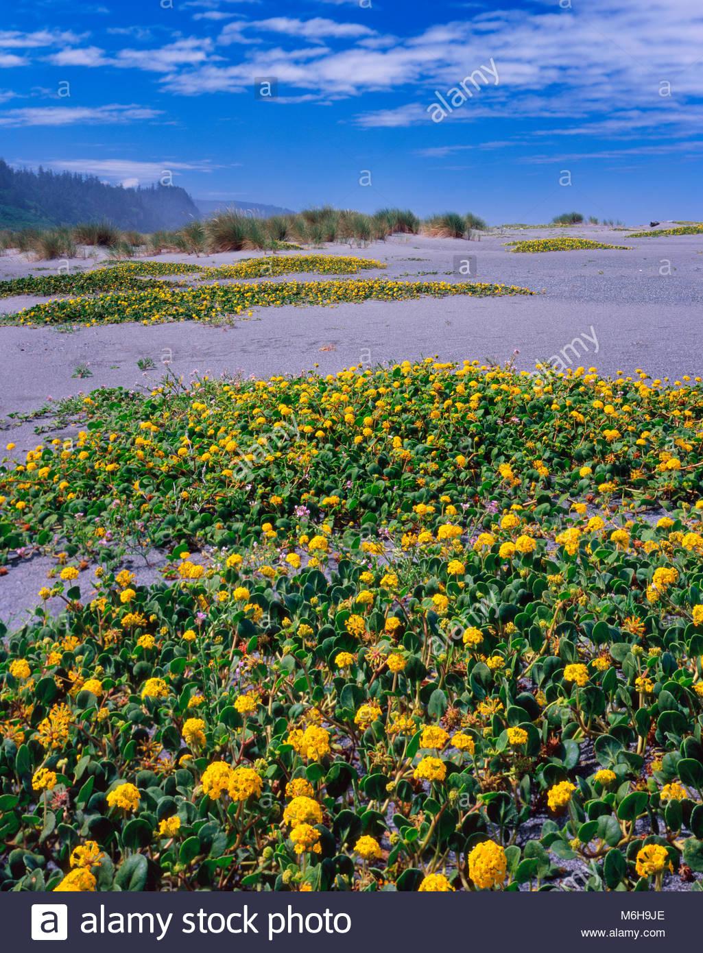 Yellow Sand Verbena, Gold Bluffs Beach, Prairie Creek Redwoods State Park, Redwood National Park, California - Stock Image