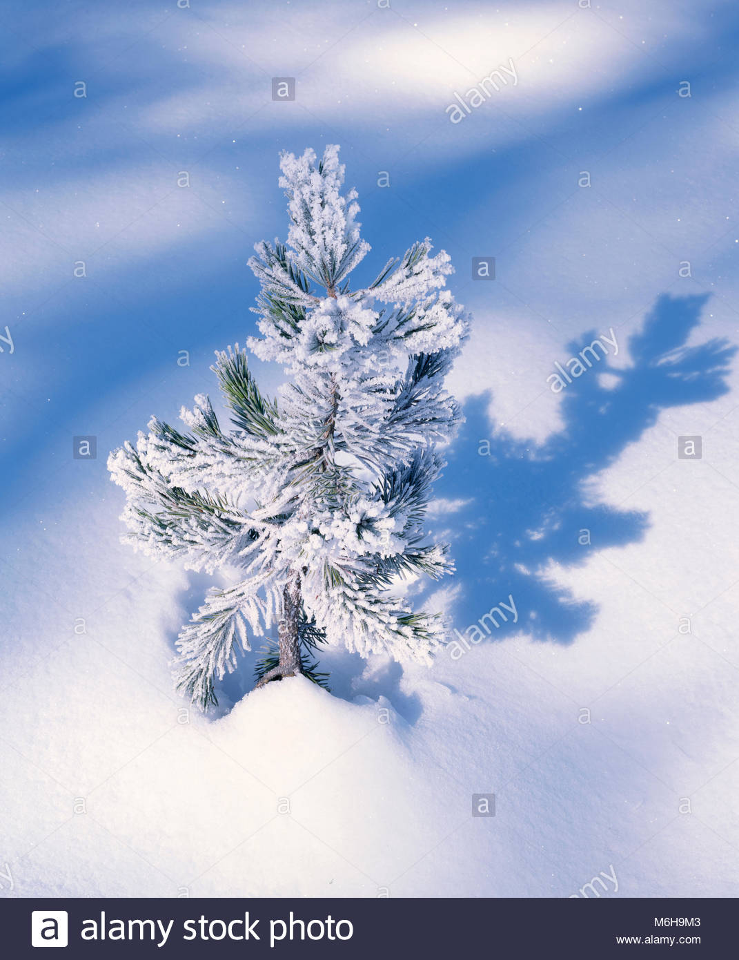 Lodgepole Pine with Frost, Yosemite National Park, California - Stock Image