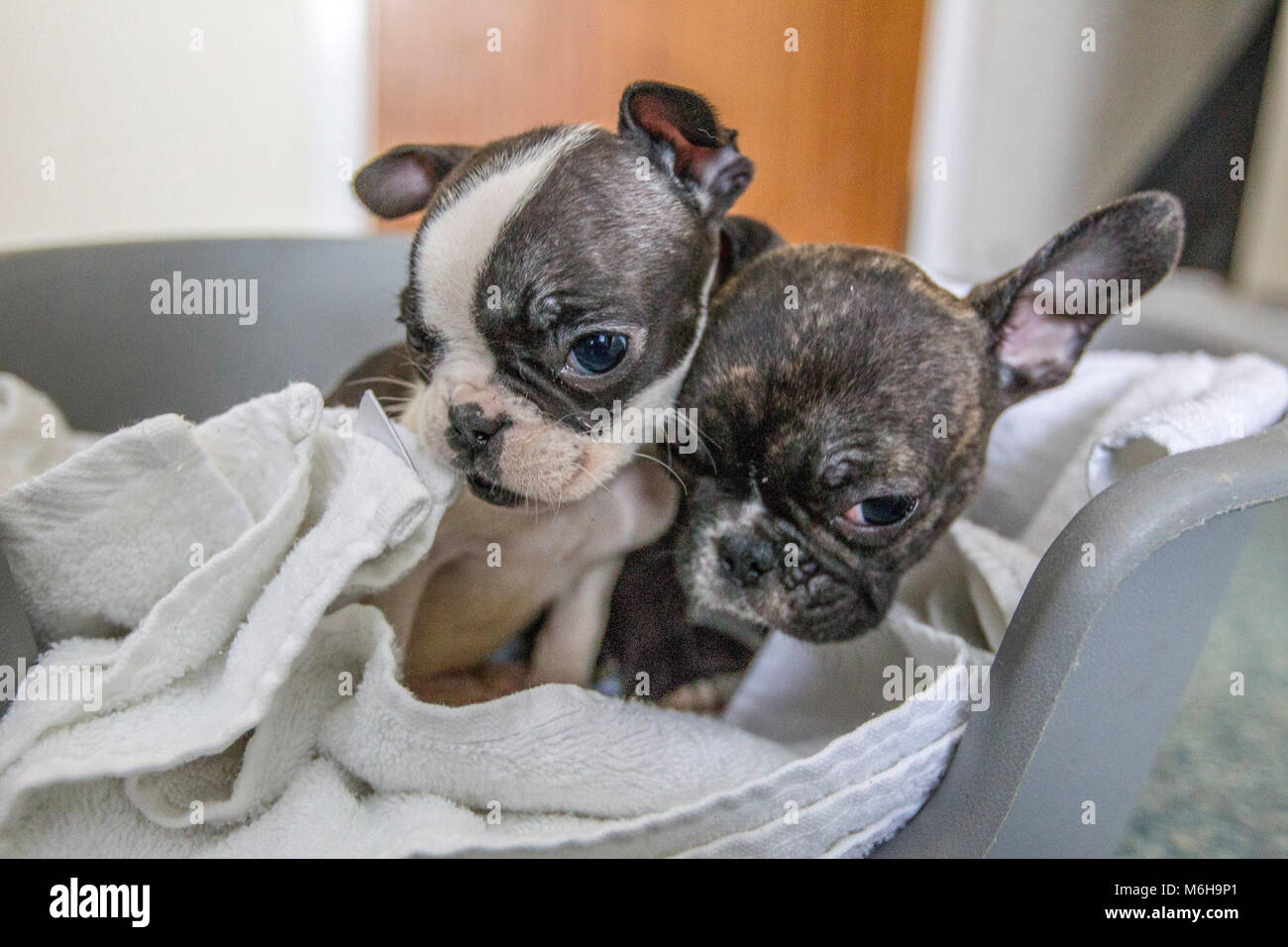 Rescued French Bulldog Puppies Stock Photo 176172473 Alamy