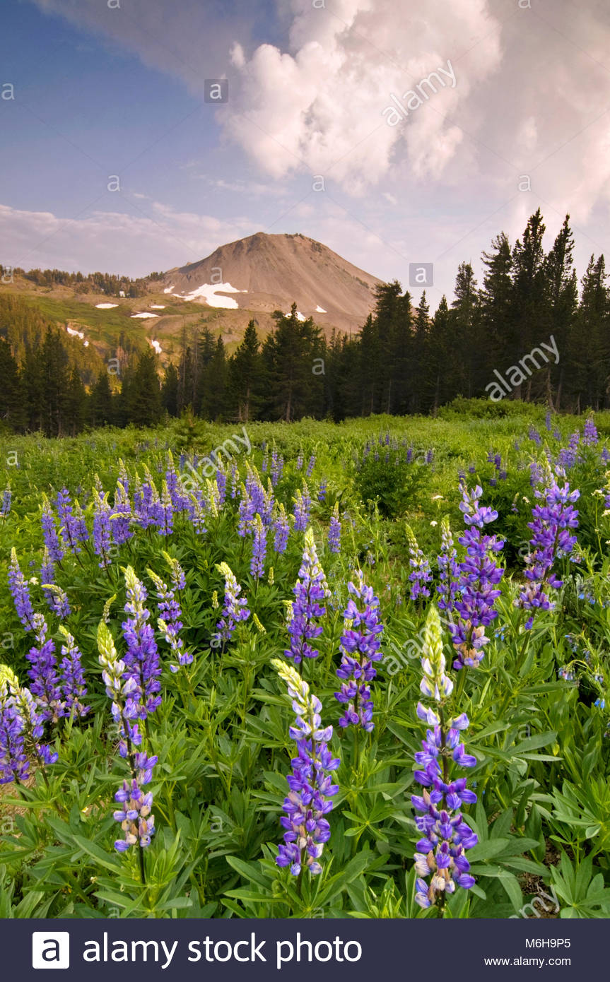 Lupine and Clouds near Ebbetts Pass, Stanislaus National Forest, California - Stock Image