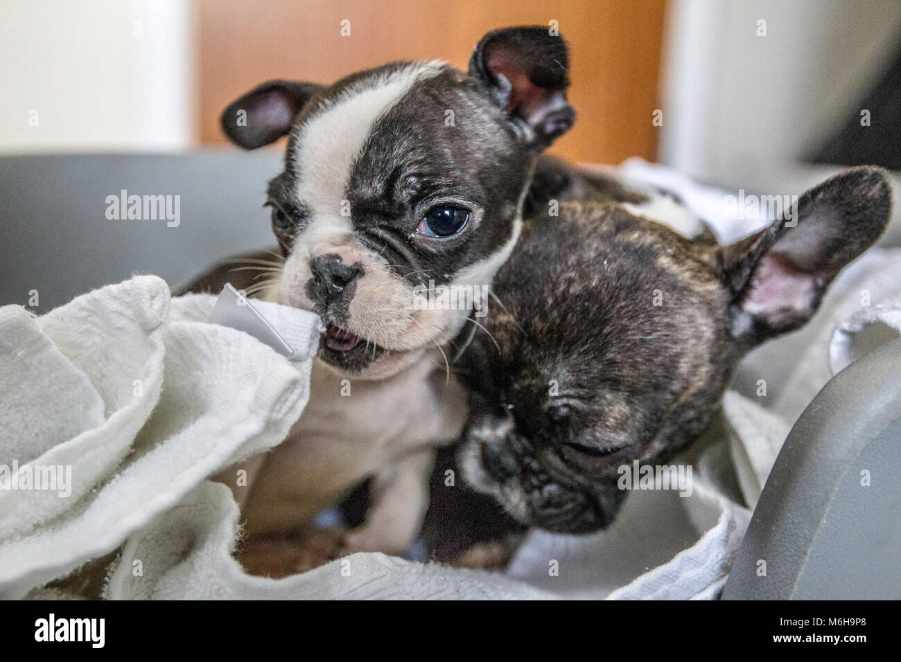 Rescued French Bulldog Puppies Stock Photo 176172480 Alamy