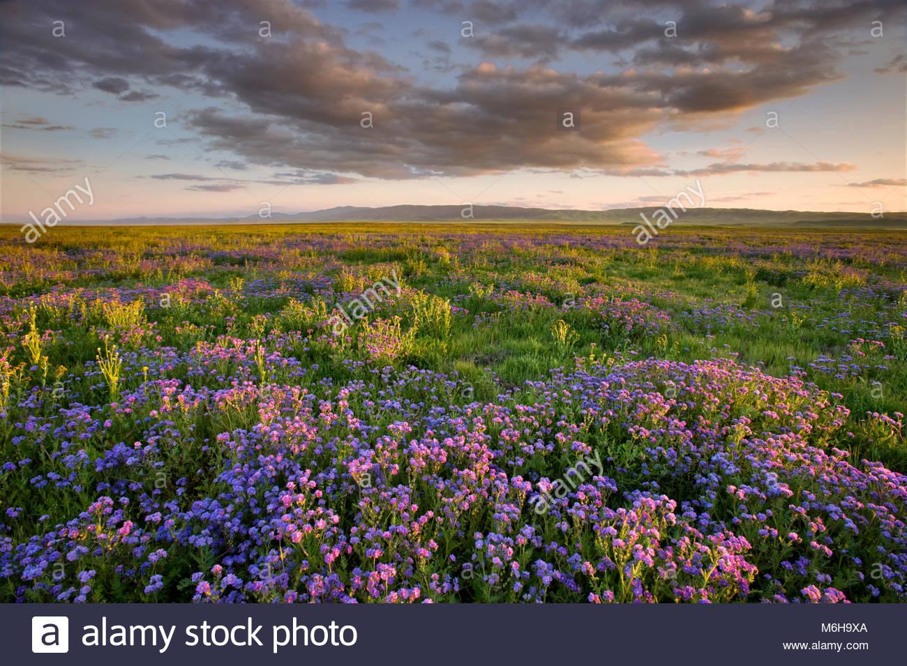 Phacelia at Sunset, Carrizo Plain National Monument, California - Stock Image