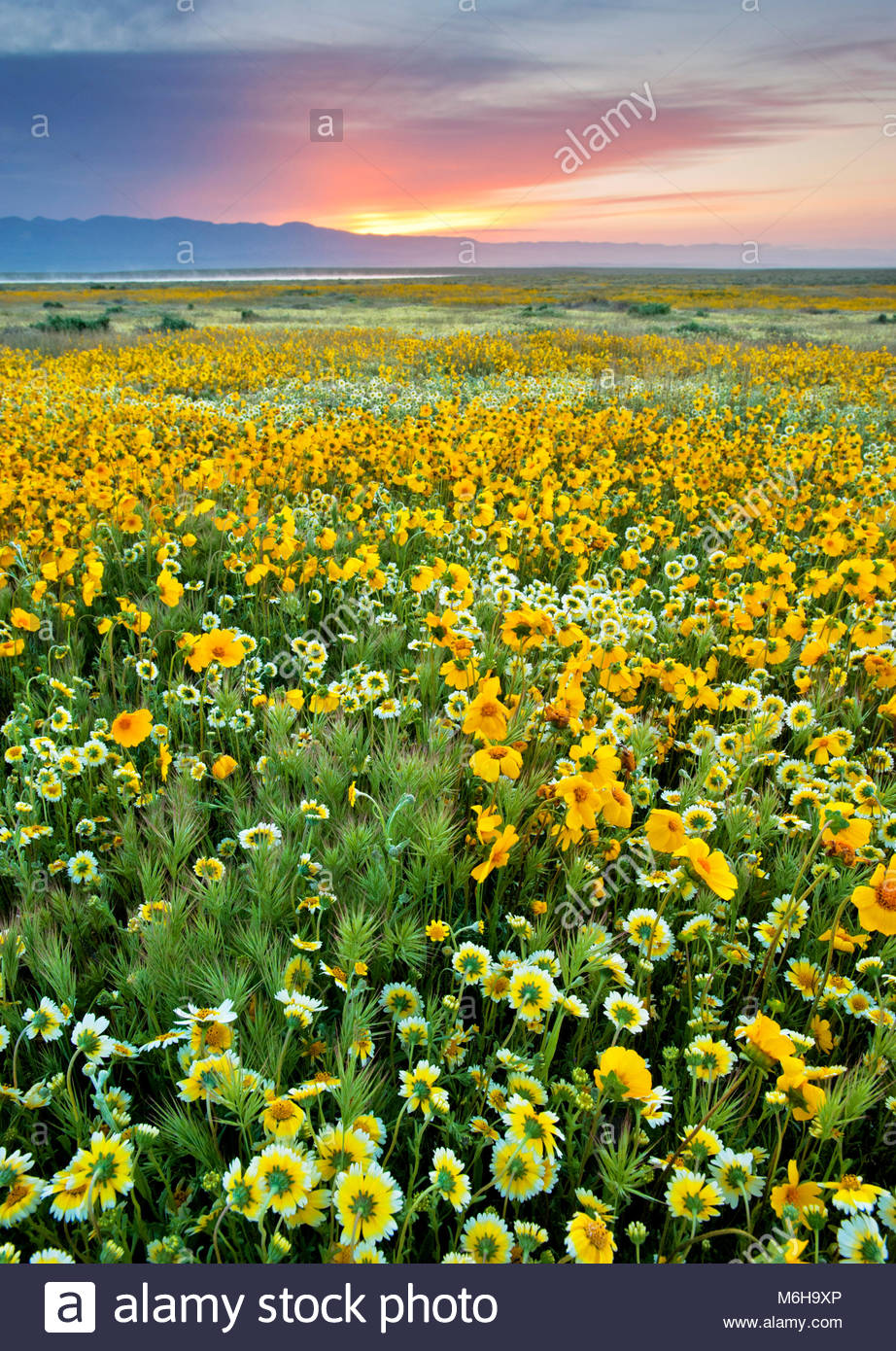 Tidy-tips, Coreopsis and Grasses at Sunrise, Carrizo Plain National Monument, California - Stock Image