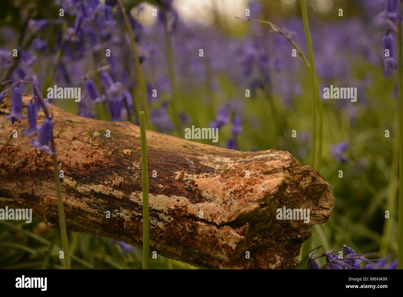 Blue bells with log  in Woodland - Stock Image