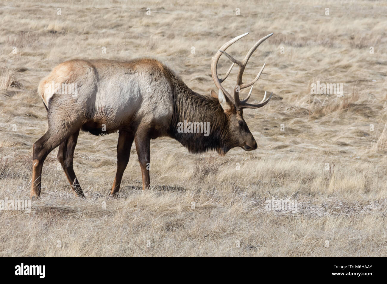 A bull elk ambels through dry golden grass looking for his next meal. - Stock Image