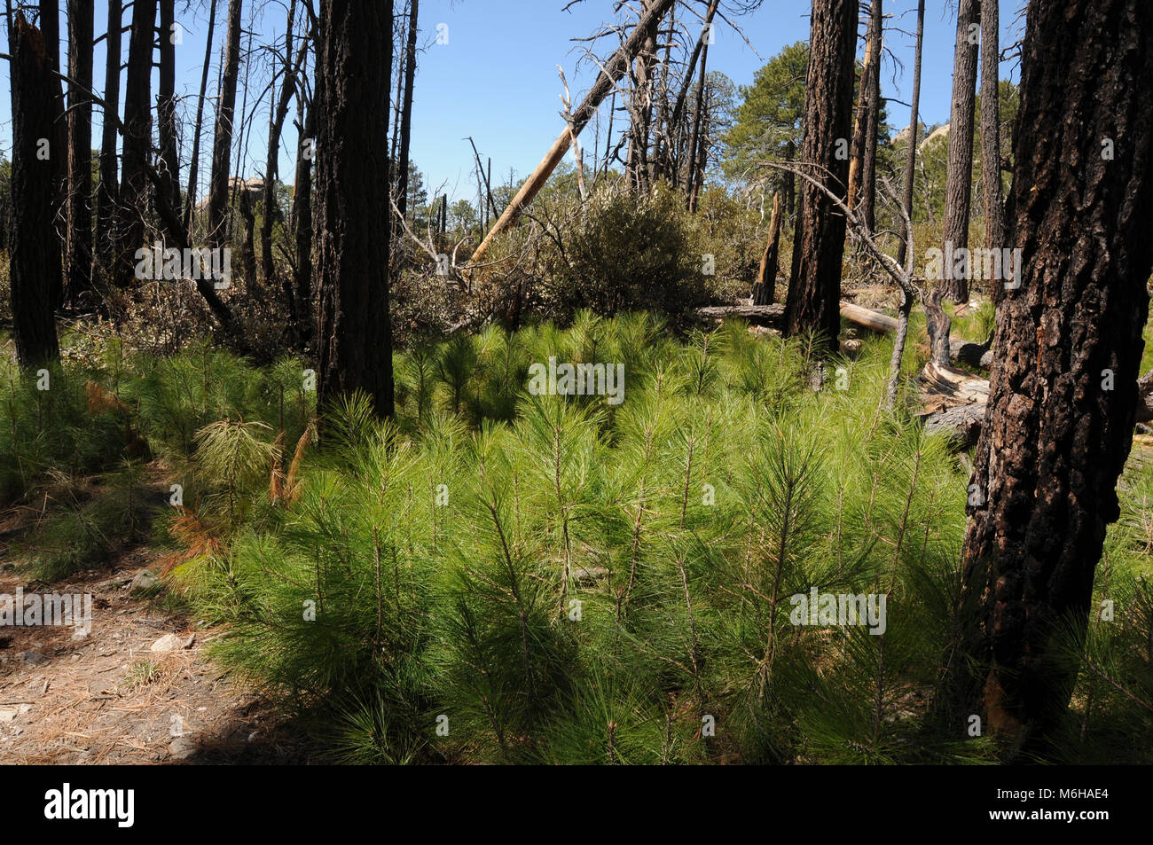 New growth of pines, ferns and other plants emerges from the forest floor following the Aspen Fire, Arizona Trail, - Stock Image