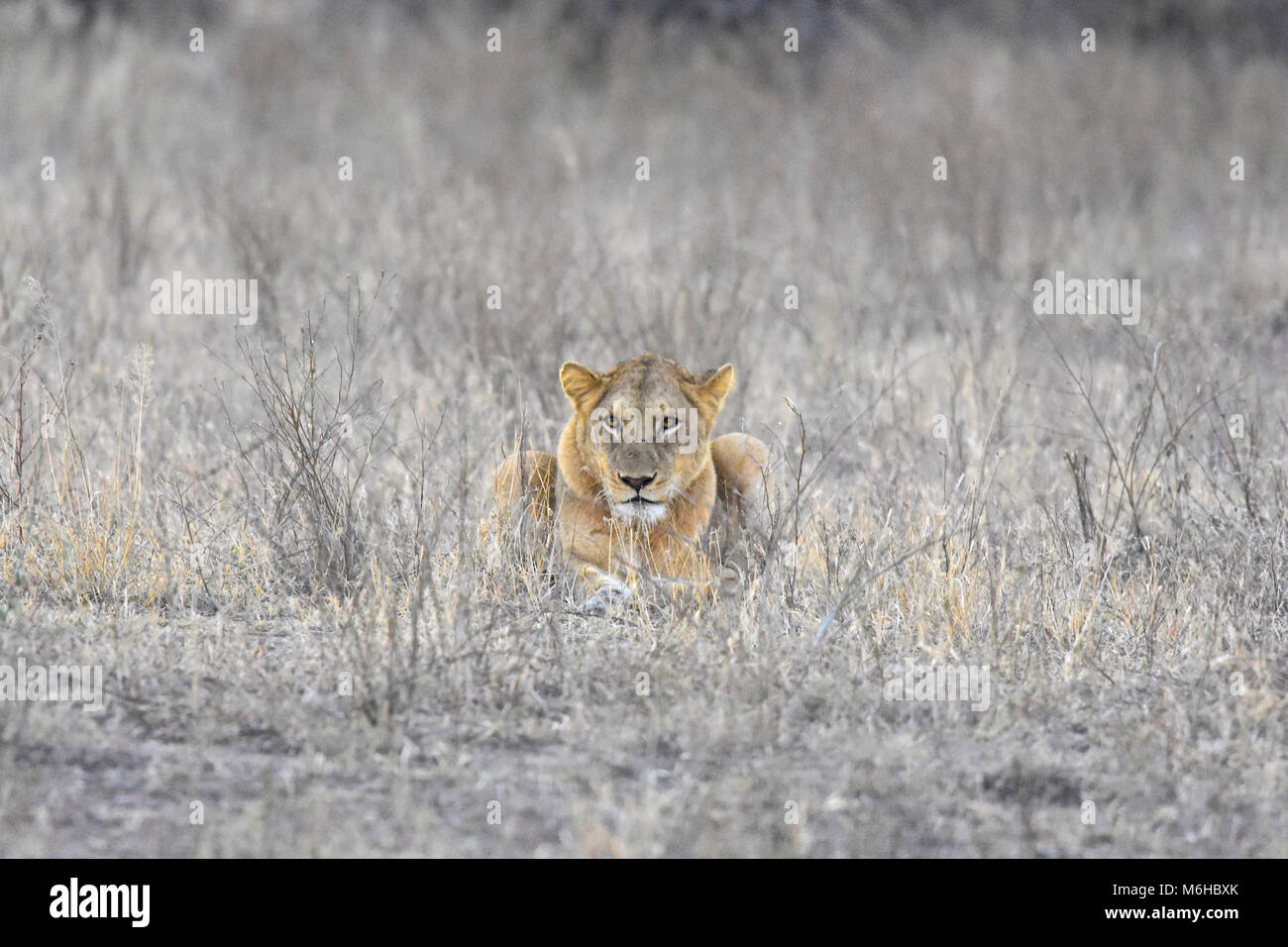 Kruger park, South Africa. Panthera leo lioness in dead grass staring at camera. - Stock Image