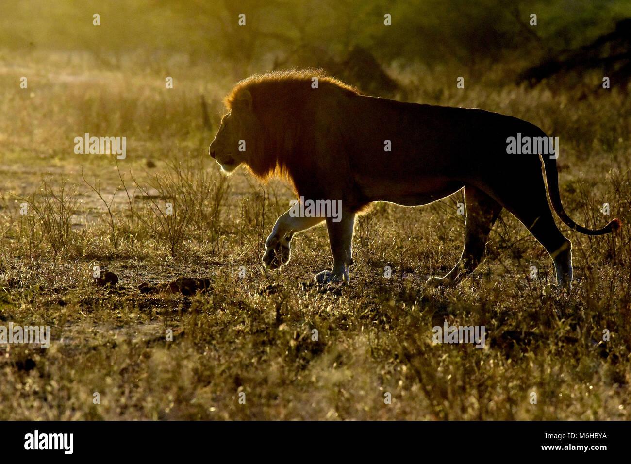 Kruger park, South Africa. Panthera leo walking at sunrise. - Stock Image