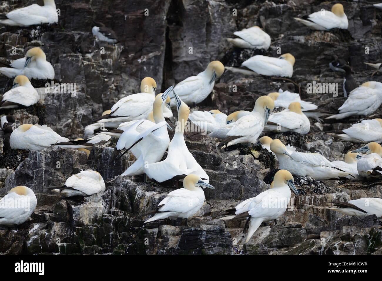Gannets billing on cliffs - Stock Image