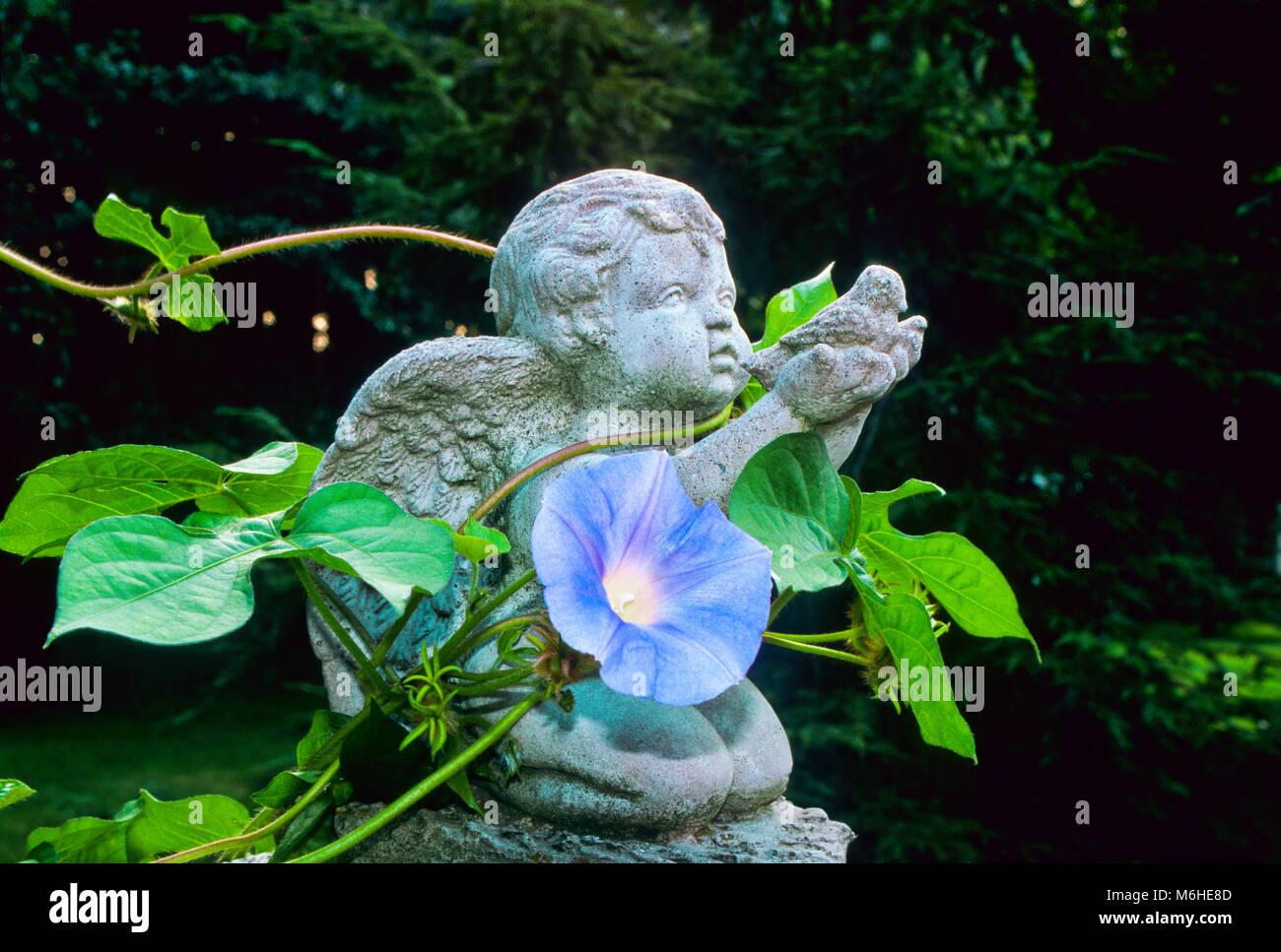 Angel garden figurine with Heavenly blue Morning Glory vine twining, New Jersey, USa - Stock Image