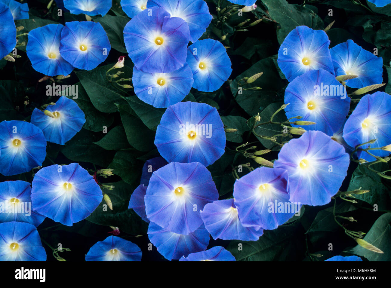 Heavenly blue Morning Glories, Bird in Hand, Pennsylvania, USA - Stock Image