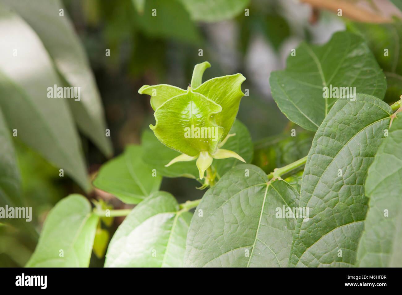 Devil's Cotton plant seed pod (Abroma augustum) - Stock Image