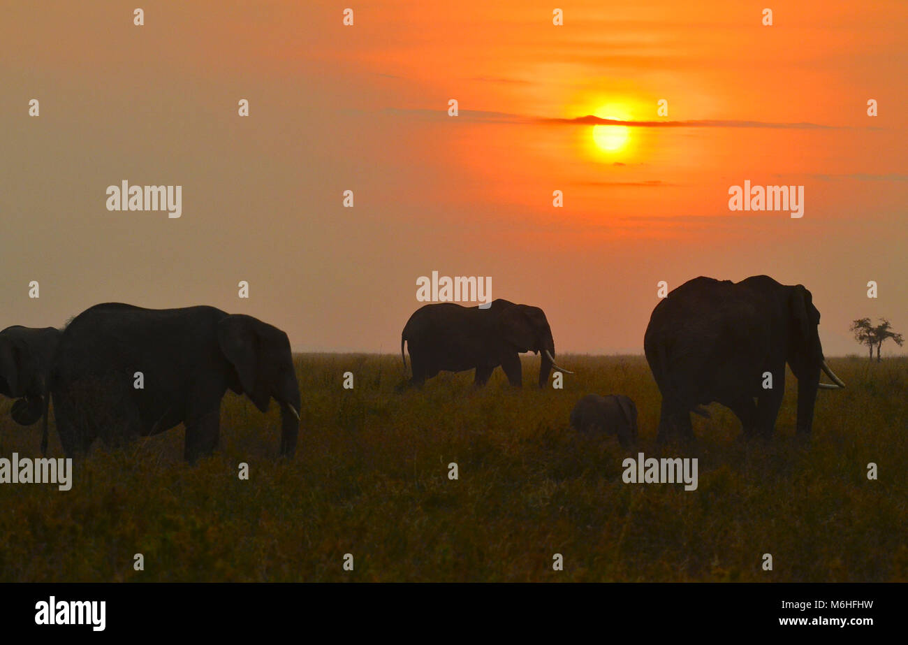 Serengeti National Park in Tanzania, is one of the most spectacular wildlife destinations on earth. Elephants on - Stock Image