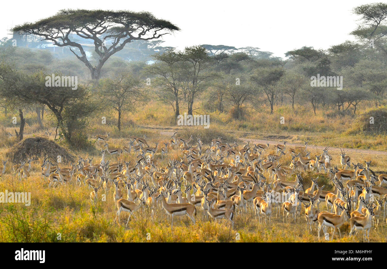 Serengeti National Park in Tanzania, is one of the most spectacular wildlife destinations on earth. Thomsons gazelle - Stock Image