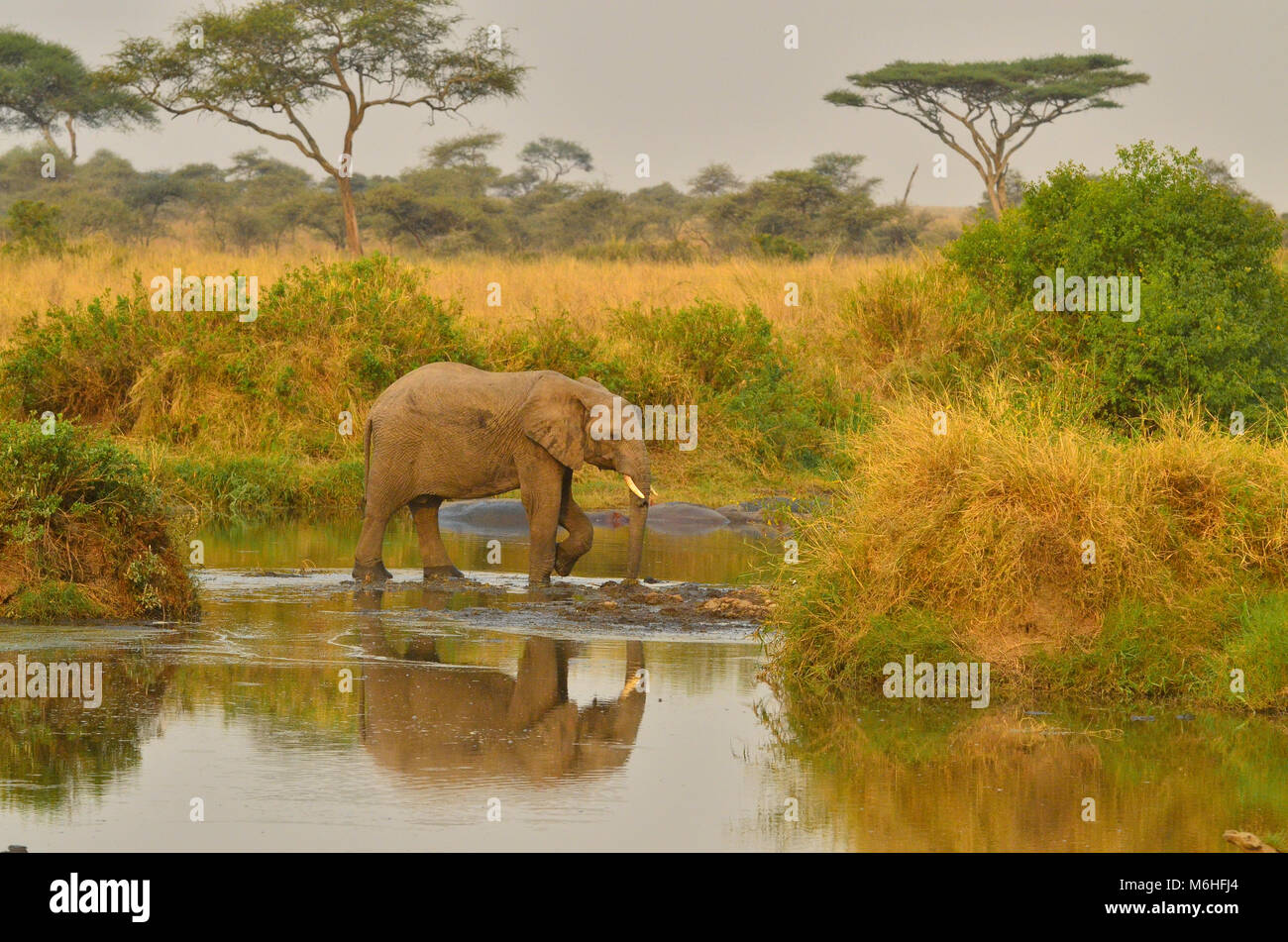 Serengeti National Park in Tanzania, is one of the most spectacular wildlife destinations on earth. Elephant crossing - Stock Image