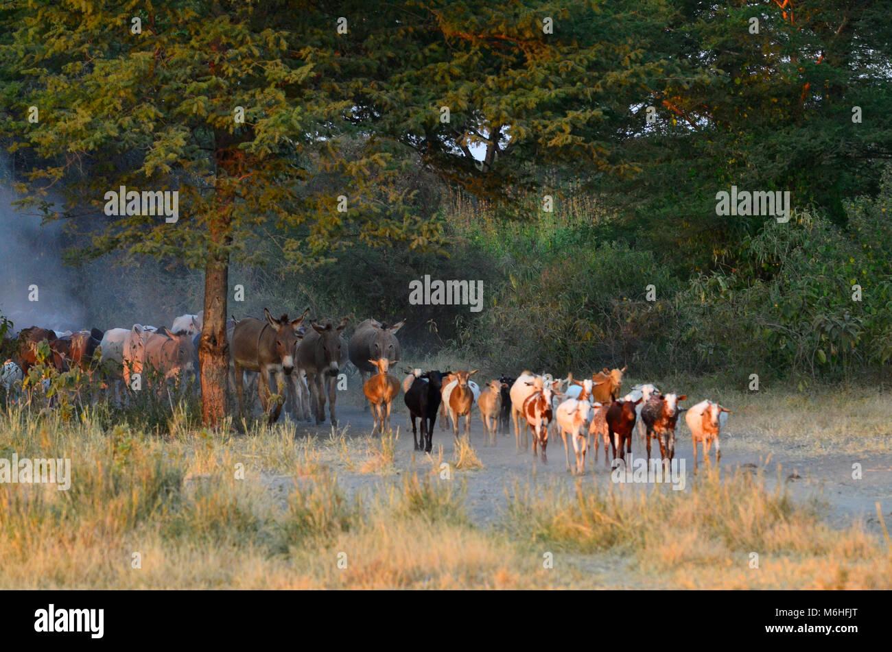 Masaai goaats, donkeys and herders near Tarangire national park, Tanzania. - Stock Image