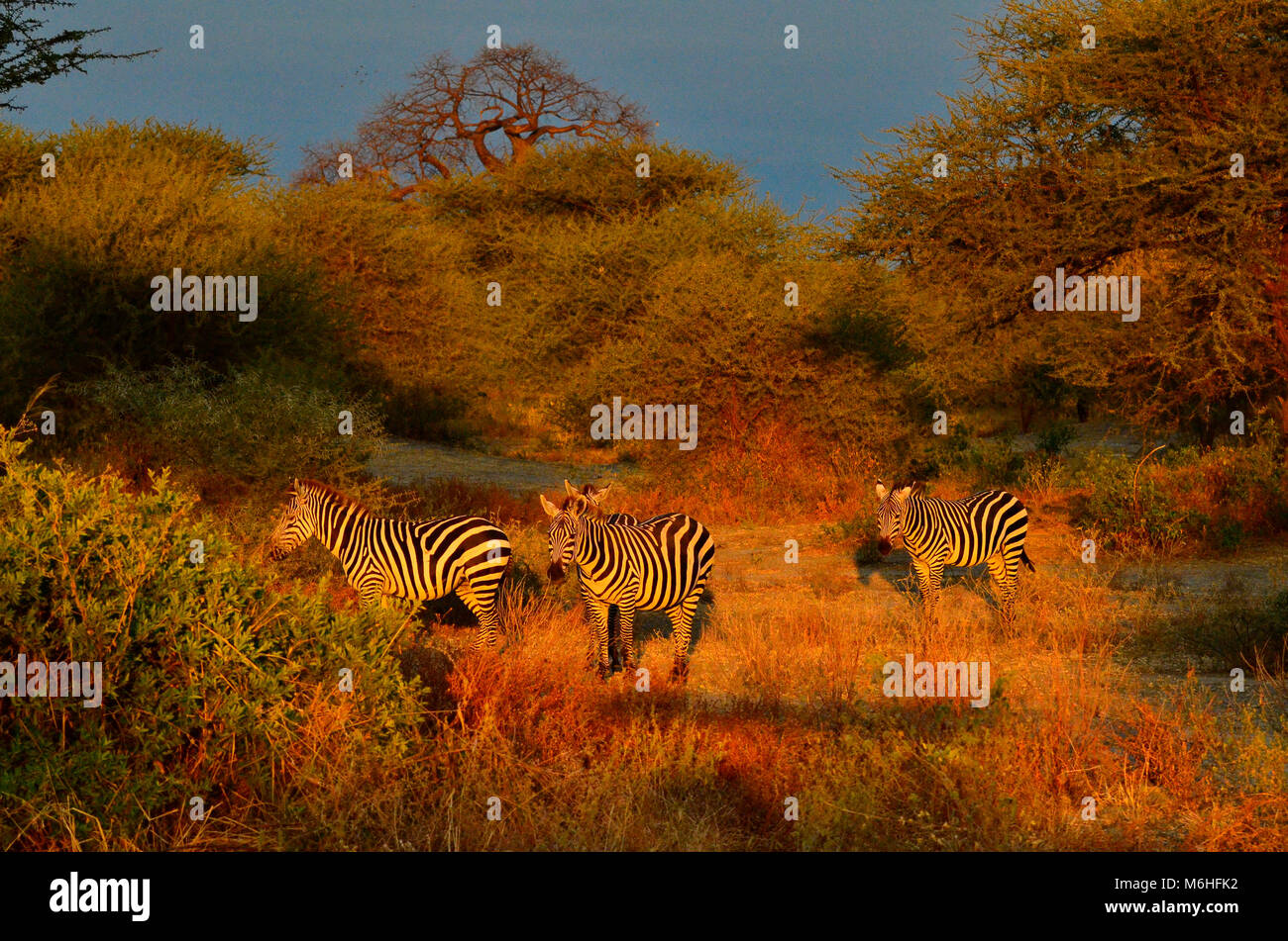 Tarangire national park is an excellent game viewing destination in Tanzania. Zebra at dawn - Stock Image